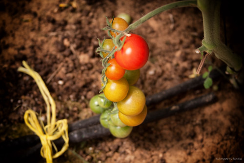 Cherry tomatoes - Greenheart Organic Farms - Dubai / Fujairah - Airspectiv Media