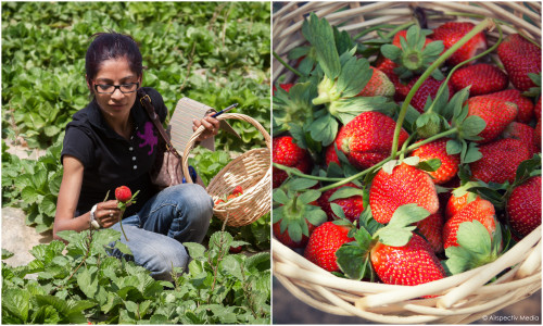 Organic strawberries - Greenheart Organic Farms - Dubai / Fujairah - © Airspectiv Media